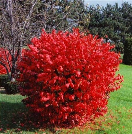 Heinen Landscape Burning Bush