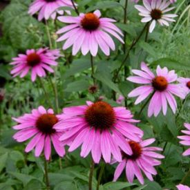Heinen Landscape coneflower purple