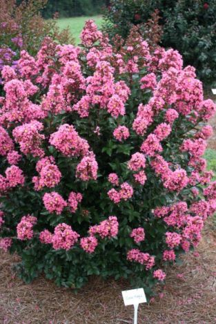 Heinen Landscape Crapemyrtle coral magic