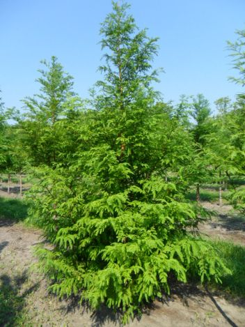 Heinen Landscape Dawn redwood