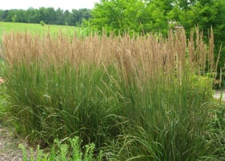 Heinen Landscape Feather Reed Grass