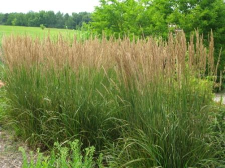 Heinen Landscape Feather Reed Grass