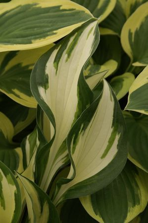 Heinen Landscape Hosta Fire & Ice