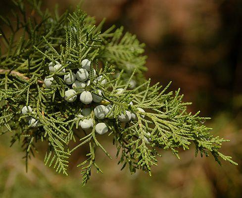 Juniper Keteleeri foliage