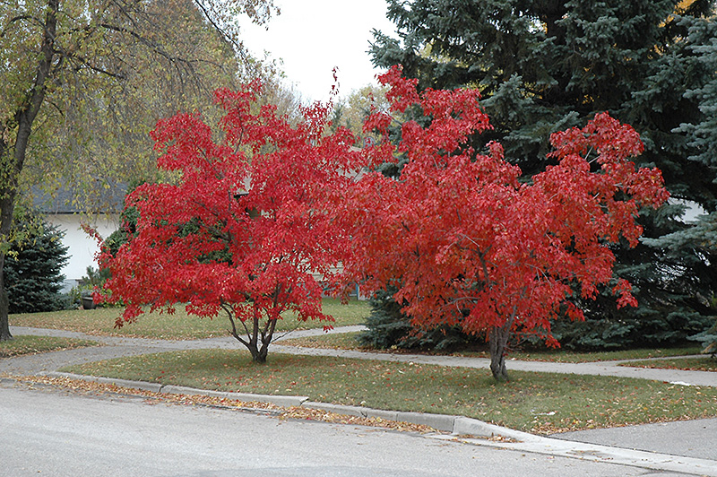 Heinen Landscape Maple, Amur Flame Fall color