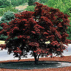 Heinen Landscape Maple Japanese Bloodgood