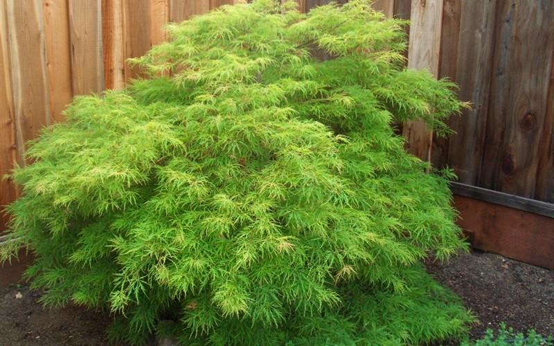 Heinen Landscape Maple, Japanese 'Waterfall'