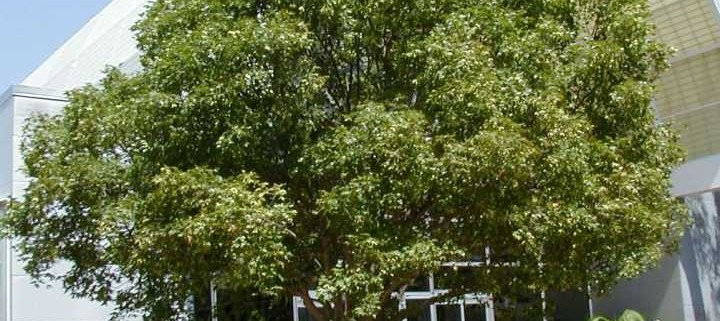 Heinen Landscape Maple, Shantung