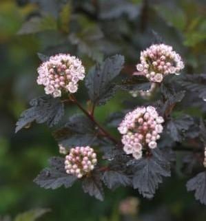 Heinen Landscape Ninebark summer wine flower