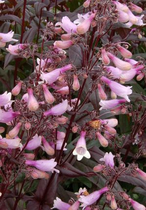 Heinen LandscapePenstemon, Husker Red