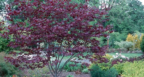 Heinen Landscape Redbud 'Forest Pansy'