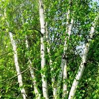 River Birch 'Whitespire' bark