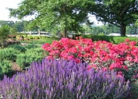 Heinen Landscape Rose Knock out