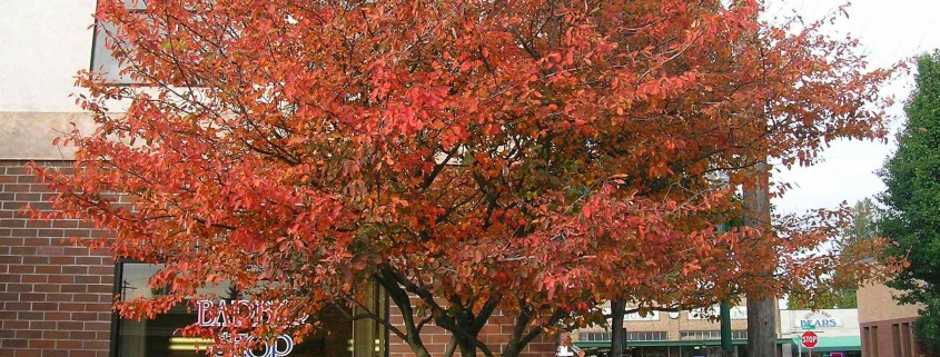 Heinen Landscape Serviceberry 'Autumn Brilliance' fall color