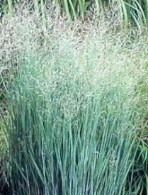 Heinen Landscape Switchgrass 'Heavy Metal'