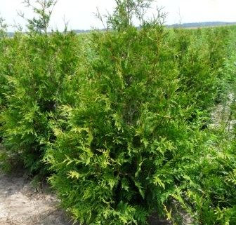 Heinen Landscape Arborvitae Green Giant