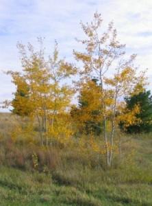 Heinen Landscape Aspen Prairie Gold