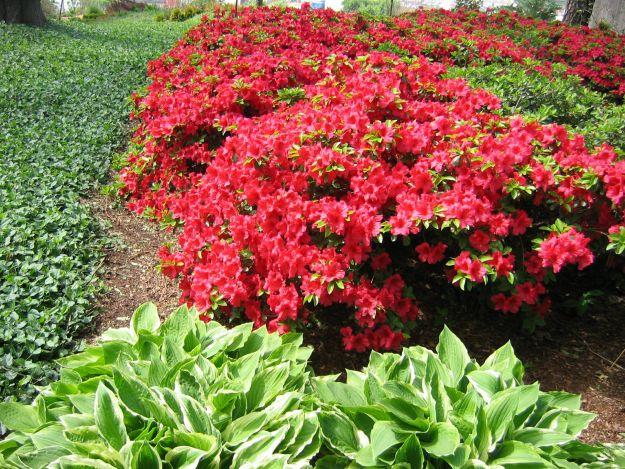 Heinen Landscape Azalea Girard Crimson