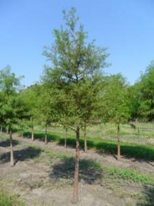 Heinen Landscape Bald cypress