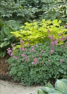 Heinen Landscape Bleeding Hearts