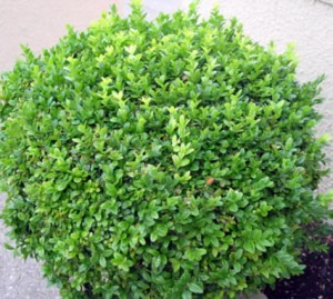Heinen Landscape Boxwood Winter Green