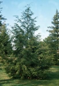 Heinen Landscape Hemlock Canadian
