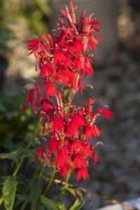 Heinen Landscape Cardinal Flower