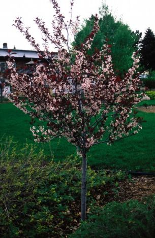 Heinen Landscape Chokecherry Canada red