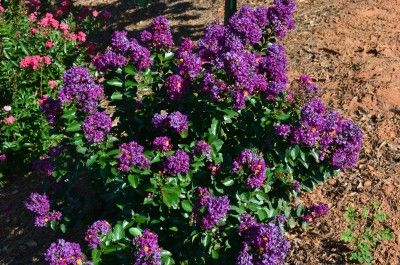 Heinen Landscape Crapemyrtle Purple Magic