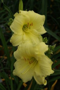 Heinen Landscape Daylily happy returns
