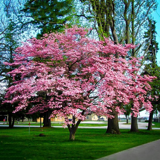 Heinen Landscape Dogwood pink
