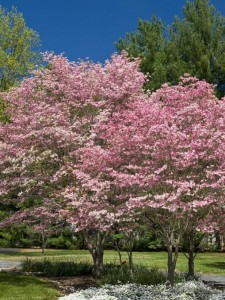 Heinen Landscape Dogwood Stellar Pink