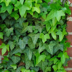 Heinen Landscape English Ivy