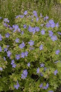 Heinen Landscape Geranium 'Johnson's Blue'
