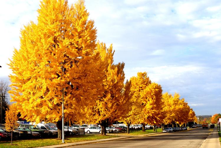 Heinen Landscape ginkgo autumn gold