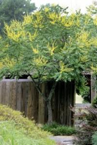 Heinen Landscape Goldenrain Tree