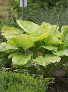 Heinen Landscape Hosta sum & substance
