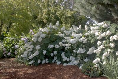 Heinen Landscape Hydrangea Oakleaf