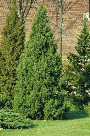 Heinen Landscape Juniper, Keteleeri