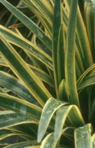 Heinen Landscape Liriope, variegated