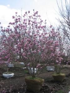 Heinen Landscape Magnolia Jane