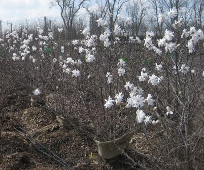 Heinen Landscape Magnolia Royal Star