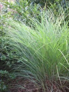 Heinen Landscape Maiden Grass