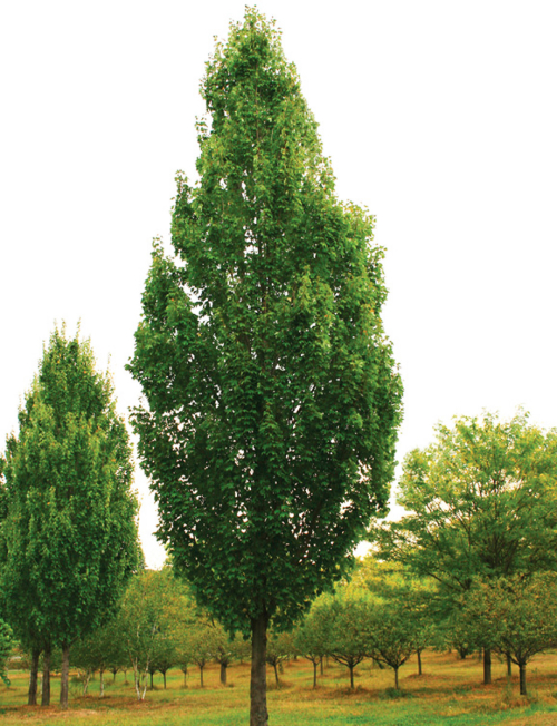 Heinen Landscape Maple armstrong