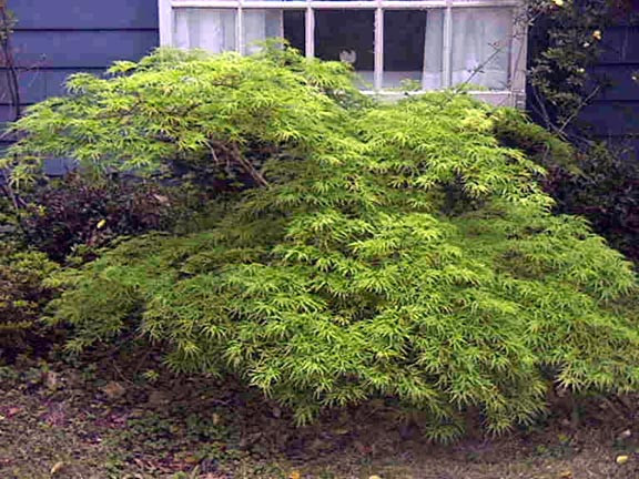 Heinen Landscape Maple Japanese Viridis