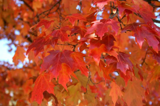 Maple Sugar 'Fall Fiesta' in the fall