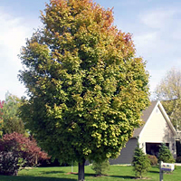 Heinen Landscape Maple Sugar green mountain