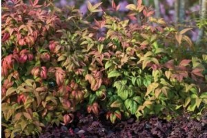Heinen Landscape Nandina Fire Power