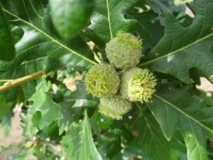 Heinen Landscape Oak Burr