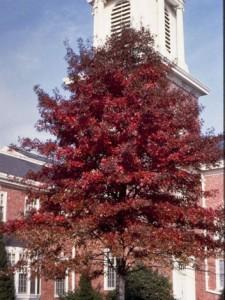 Heinen Landscape Oak Pin